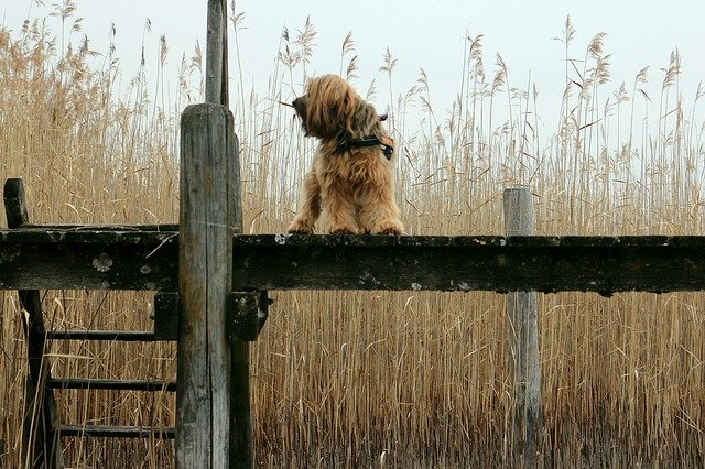 pes u pole