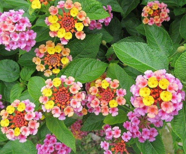 květy lantany