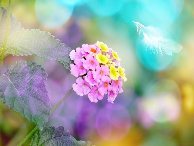 květ lantany